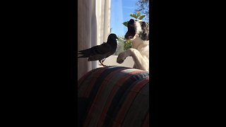 Pigeon And Puppy Enjoy Play-Fight Session