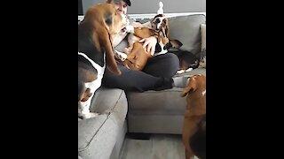 Hilarious basset hound throws jealous temper tantrum