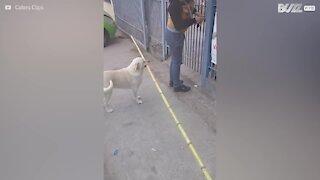 È testardo e vuole attraversare la porta con un bastone gigante