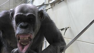 Chimpanzee sees his reflection, makes hilarious faces for the camera