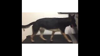 German Shephard treadmill workout