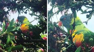 Wild lorikeet return every morning to tree in yard