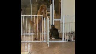 Big dog scared to walk past cat