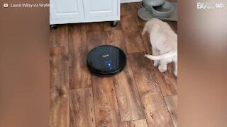 Cãozinho adora pegar carona no aspirador inteligente