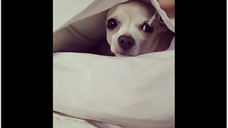 Clever small dog makes bed inside pillowcase