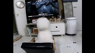 Bichon Frise sits on chair to watch favorite movie