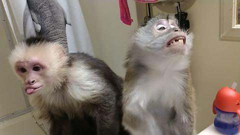 Monkeys love hair dryer blown in their faces
