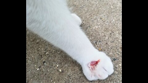 Oreo Jr has a hurt paw.🐈 オレオJrは前足を痛めています。