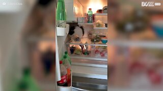 Ce chat se sert à même le réfrigérateur...