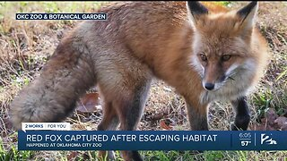 Red Fox Captured After Escaping Habitat At OKC Zoo
