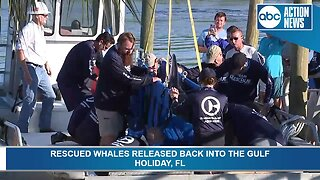 Rescued pilot whales released back into the Gulf