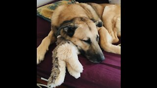 Dog doesn't want to give his teddy to owner