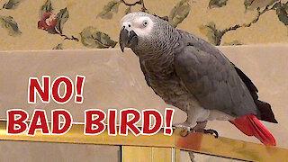 Talking parrot reprimands himself for bad behavior
