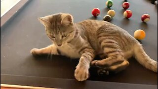 Curious kitten wants to learn how to play pool