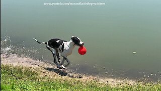 Great Dane Loves Playing in the Water with his JollyBall