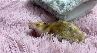 Cute sleepy hamster yawning