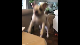 Jumping doggy tries so hard to get owner's attention