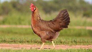 Comment hypnotiser une poule en 1 seconde