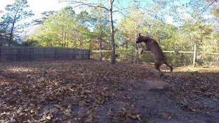 Denne hunden feilet fullstendig da den prøvde å fange en ball!