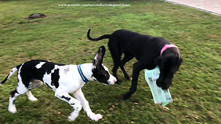 Great Danes use teamwork to deliver the newspaper