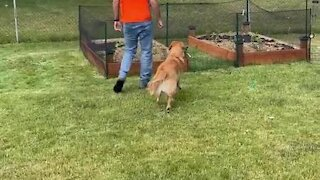 Guilty Golden Retriever named Archie gets talked to for digging holes in the yard