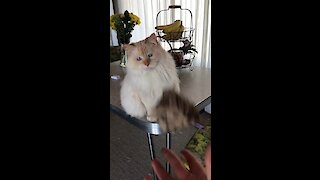 Ragdoll cat has amazing catching skills!