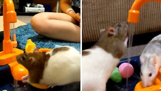 Rats enjoy adorable toy kitchen sink to play in