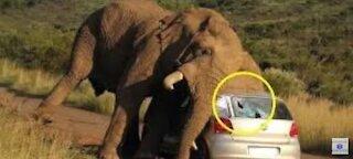 Elephant chase vehicle viral video
