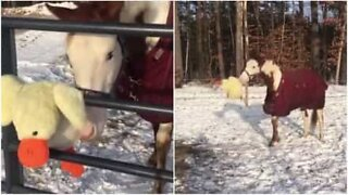Denne hesten elsker å leke med sitt nye leketøy i snøen!