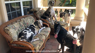 How to get 5 Great Danes to pose for a photo