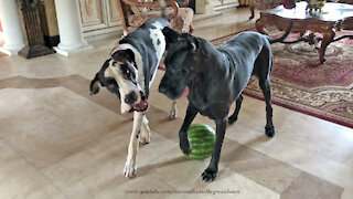 Funny Great Danes Have Fun Playing With A Watermelon