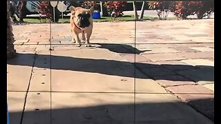 PBSO: Pet bulldog possibly stolen during burglary returned to owners