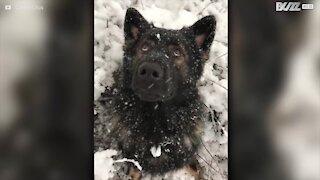 Schæferhund elsker snøen