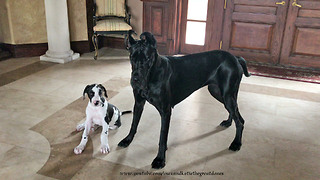 Great Dane & 10-week-old puppy love to play