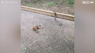 Esquilo destemido confronta cobra!