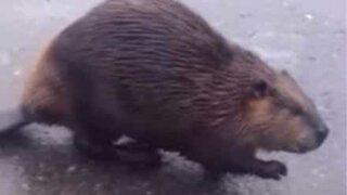 Bever angriper katt midt på en gate i Russland