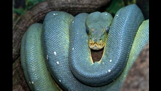 How to Survive an Anaconda Attack