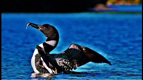 Loons or Divers