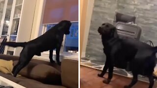 Labrador literally can't contain excitement when owner comes home