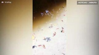 Mulher filma ataque de crocodilo assustador na Austrália