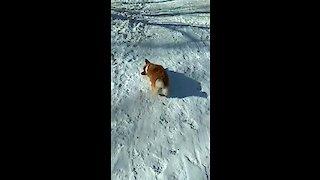 Watch this corgi go sliding down a snowy hill