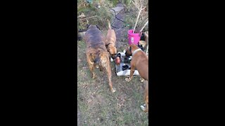 Dogs Playtime