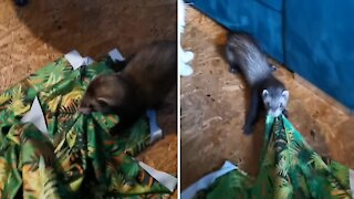 Funny pet ferret finds spandex irresistible