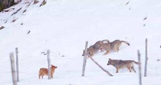 Un cane affronta tre lupi in un gioco minaccioso