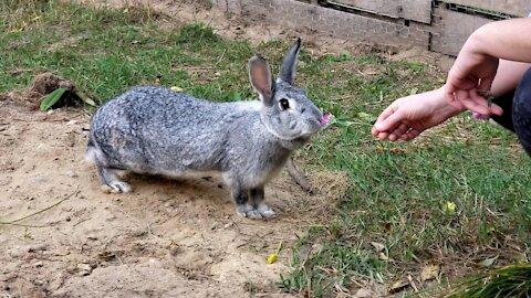 Rabbit eating clover flower