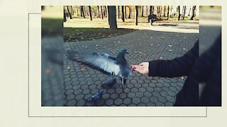 Dove eats seeds from human hands