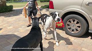 Happy Great Danes Love To Carry Dog Treats & Veggies