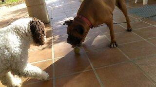 my dogs play ball