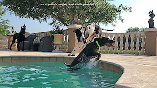 Great Danes Have Fun With Water Loving GSP Pointer Dog