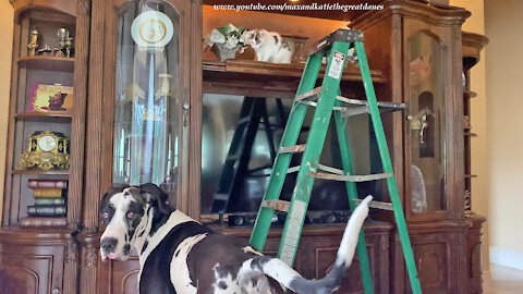 Great Dane Is Shocked To See Two Ladder Loving Cats